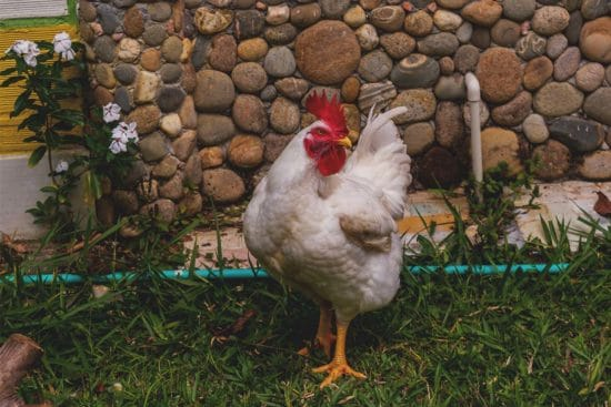 Cornish Cross Chicken: The #1 Meat Producer Breed