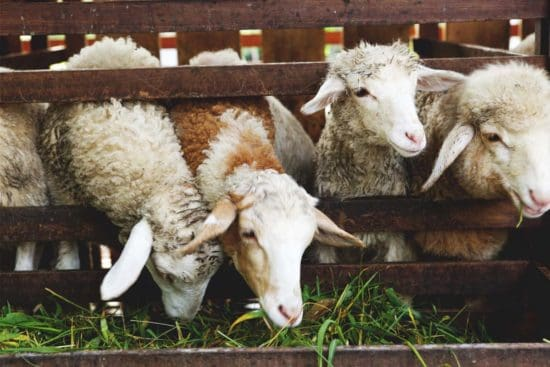 How to Feed Sheep, What Not to Feed, Cutting Costs, and More
