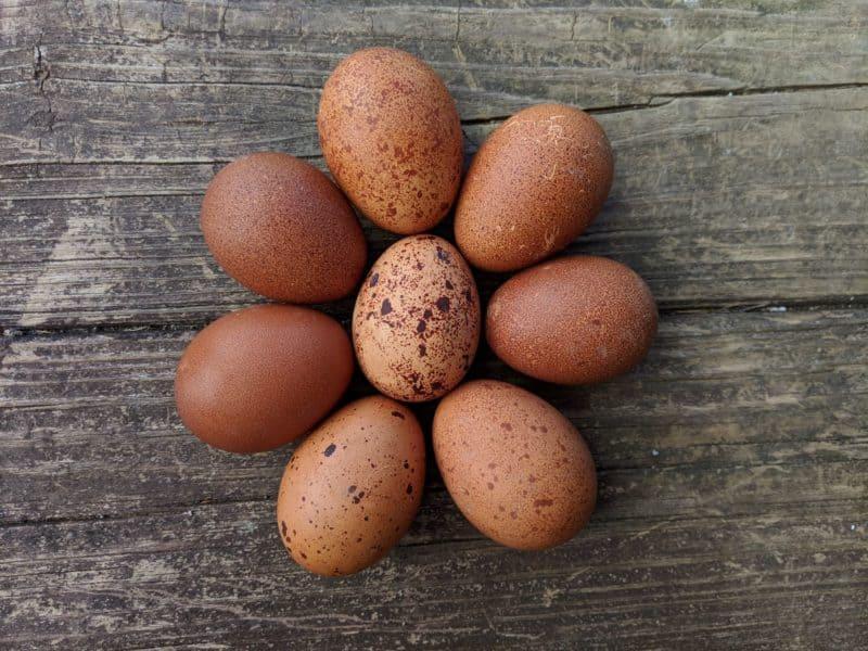 breeding for egg color