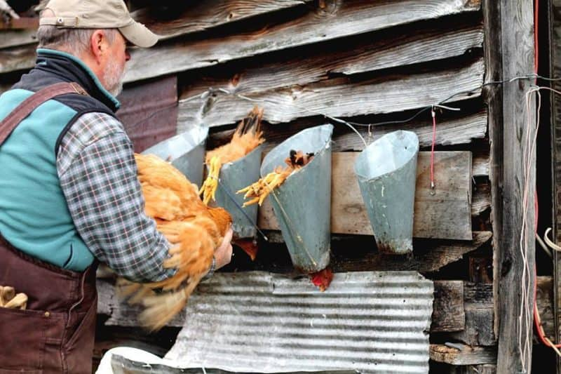 ranger chickens being slaughtered