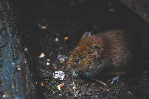 preventing rats