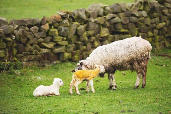11 Sheep Birth Complications You Need to Know Before Lambing Season Starts