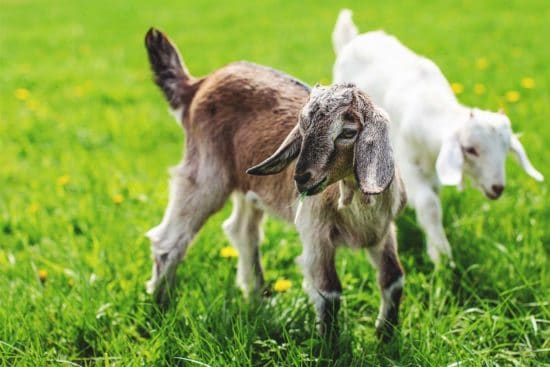 12 Spring Transition Tips to Keep Your Goats Happy and Healthy