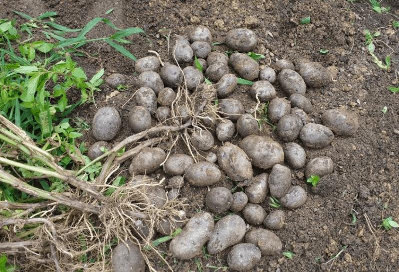 A visual testimony to peak potato production