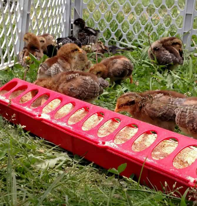 keeping chickens entertained