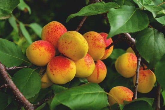 Growing Apricots: Planting Guide, Care, Problems and Harvest