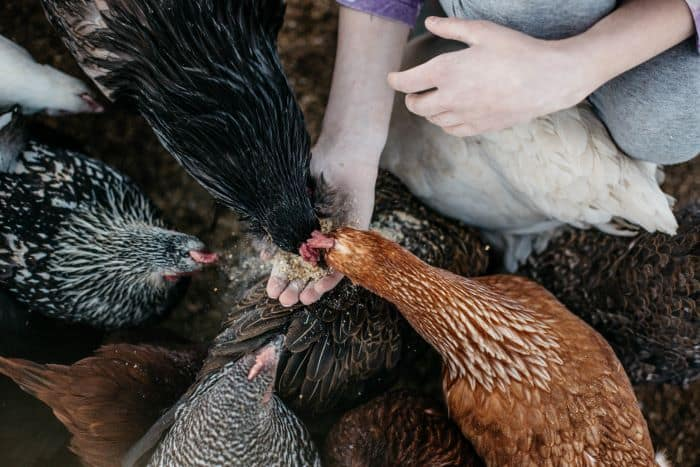 preventing bored chickens as adults is even more important
