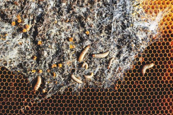 How to Identify, Prevent and Deal With Wax Moth in the Beehive