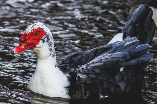 Muscovy Duck: The Most Unique Ducks You Can Own
