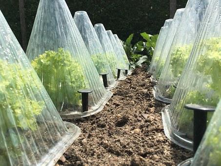 preserving endive in the garden