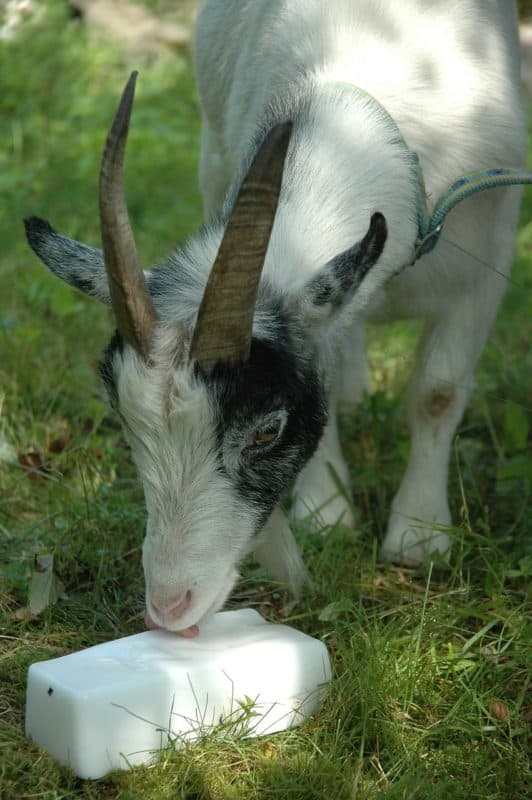 give goats salt blocks for their spring transition