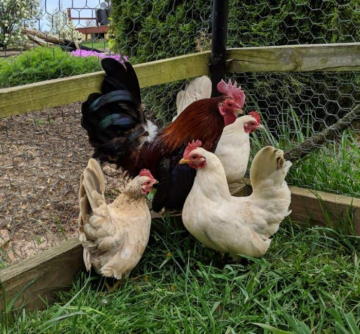 a group of bantam chickens