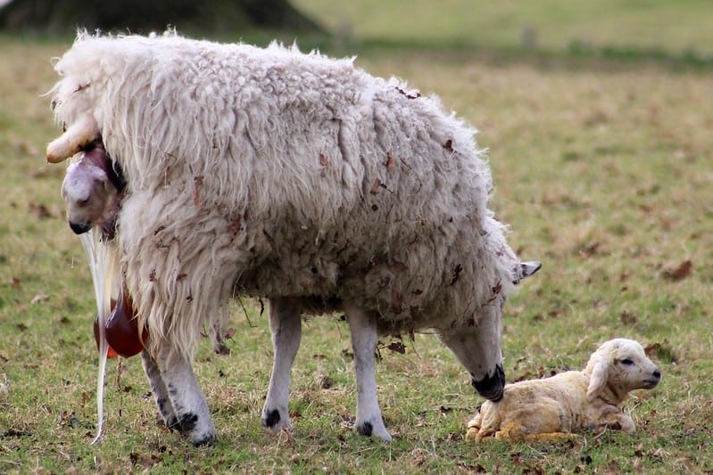 lambs being born with no sheep birth complications