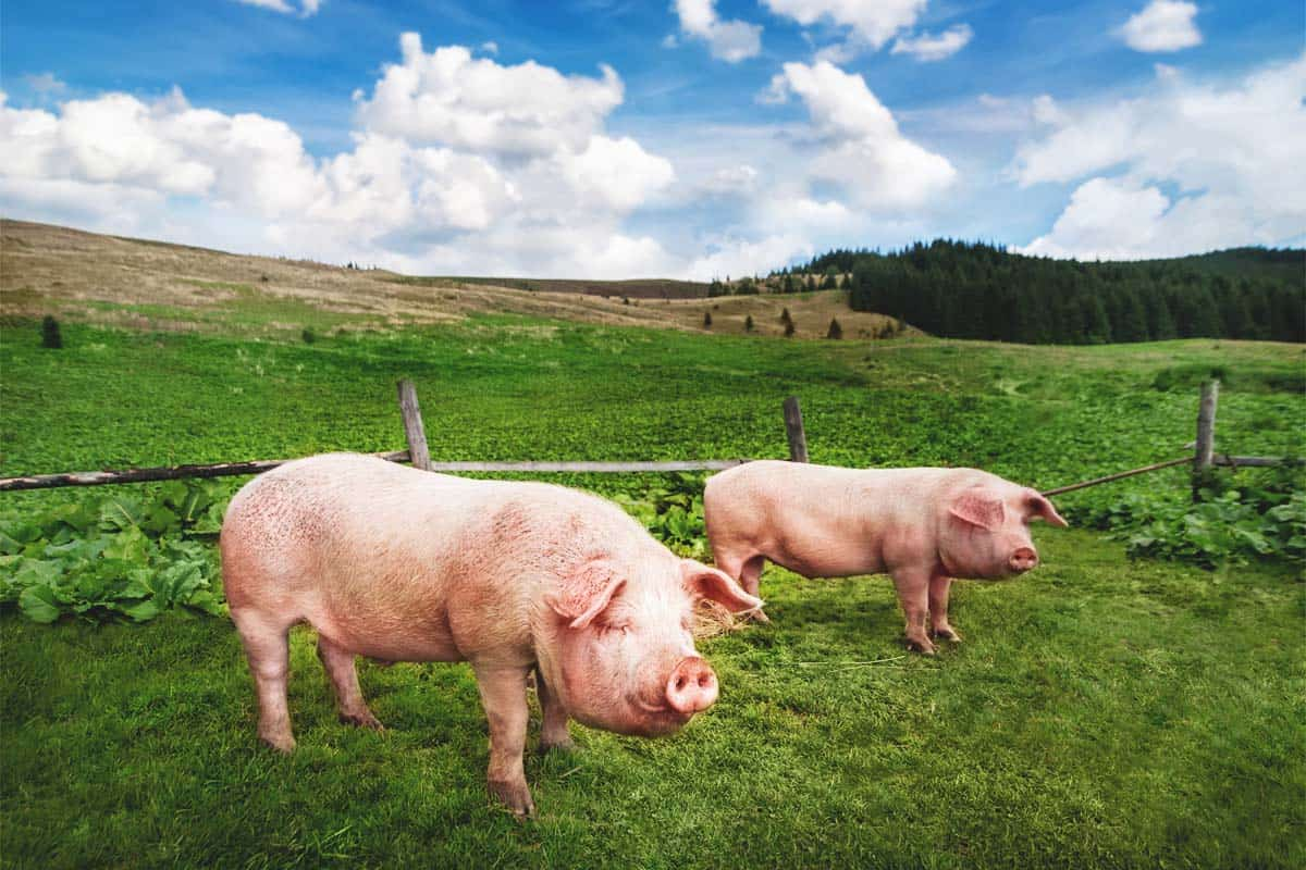 5 Benefits of Raising Pigs on Pasture and 8 Tips to Do It Better
