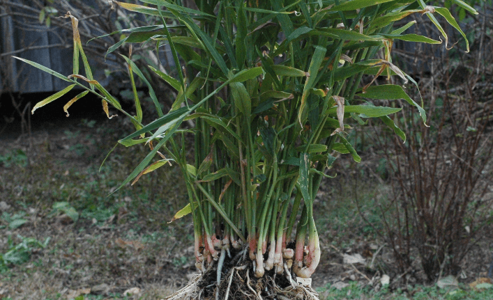 ginger is a plant that grow well indoors
