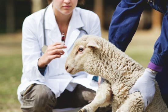 What Is the CDT Vaccine and Why Is It Important for Sheep and Goats?