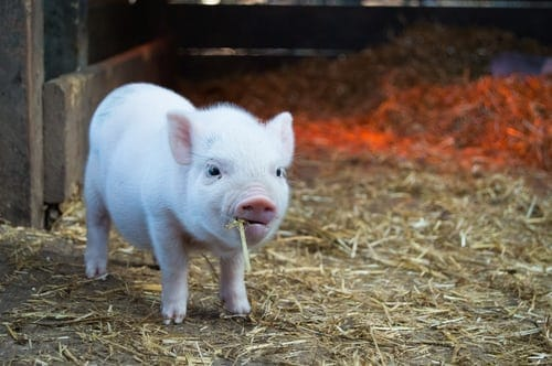 wean-piglets