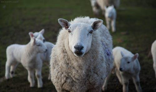 Use the CDT Vaccine to protect your flock