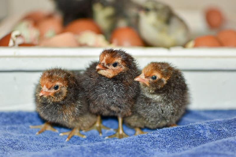 flock size