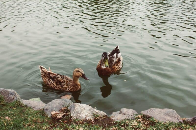 ducks keeping an eye open for your homemade duck feed