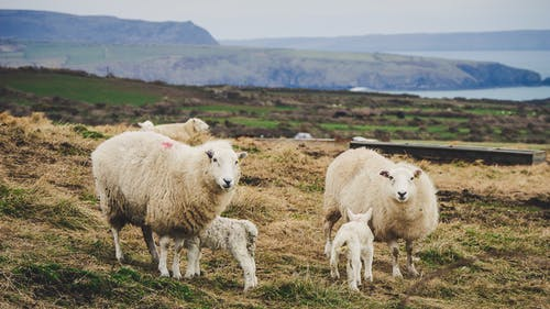 wean lambs