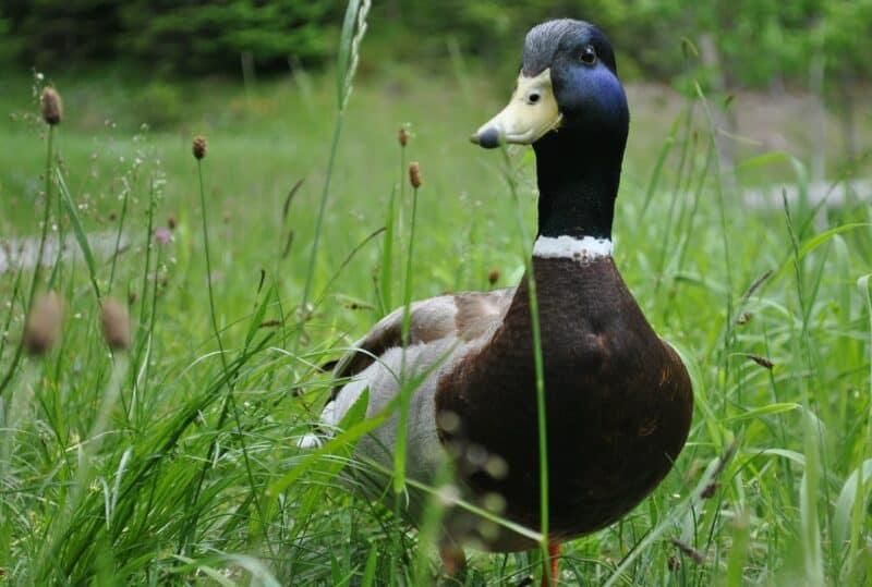 ducks like homemade duck feed