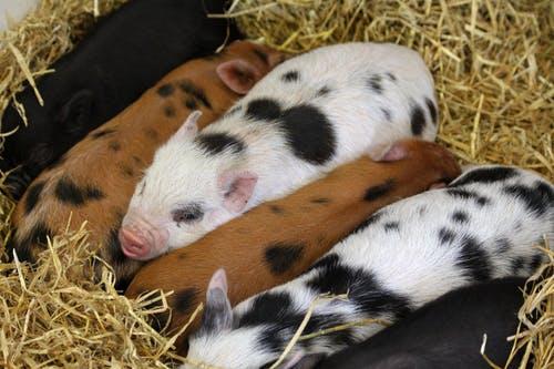 wean piglets