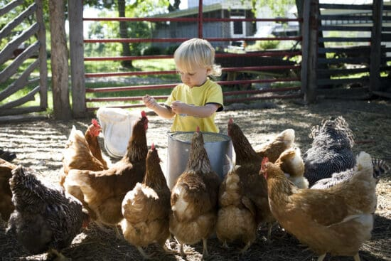 Choosing the Right Chicken Breed Based on Temperament