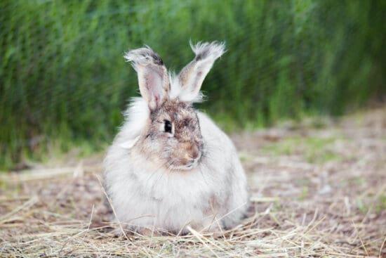 Raising Rabbits for Fur: Best Fiber Breeds, Housing, Feeding, Breeding, and Grooming