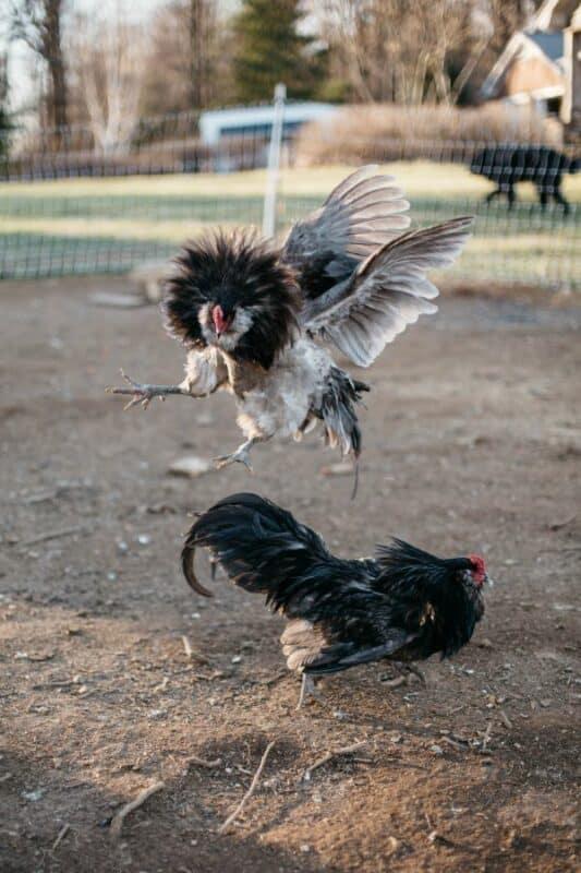 chicken breeds & temperament