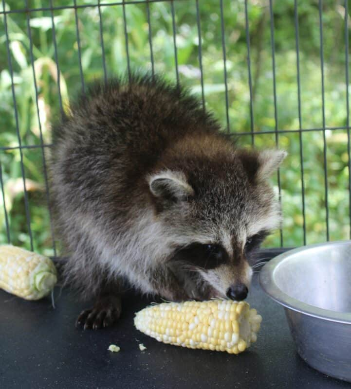 How to Get Rid of Raccoons in Your Garden Humanely
