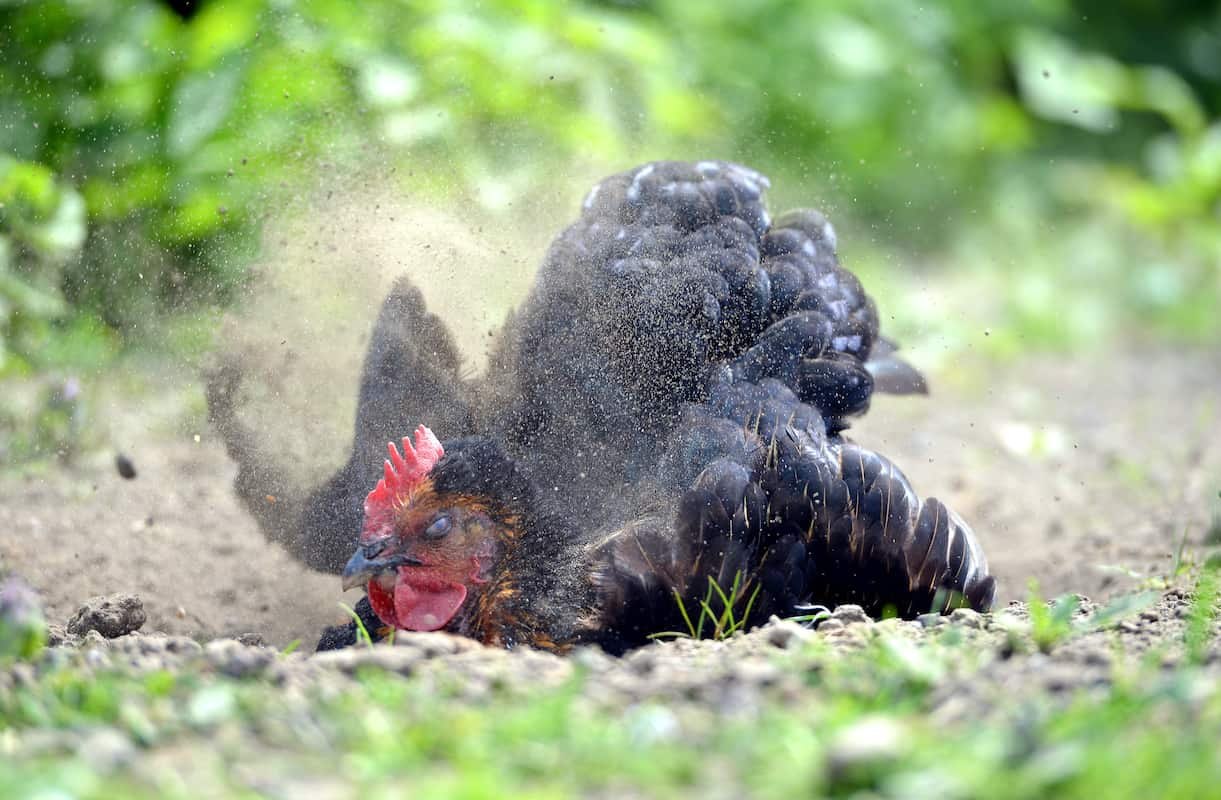All You Need to Know About Creating Chicken Dust Bath