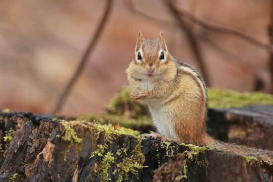 How to Get Rid of Chipmunks in Your Garden