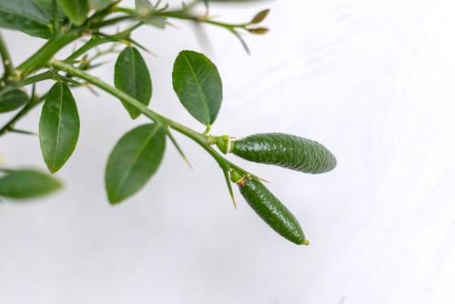 hybrid disease resistant plants