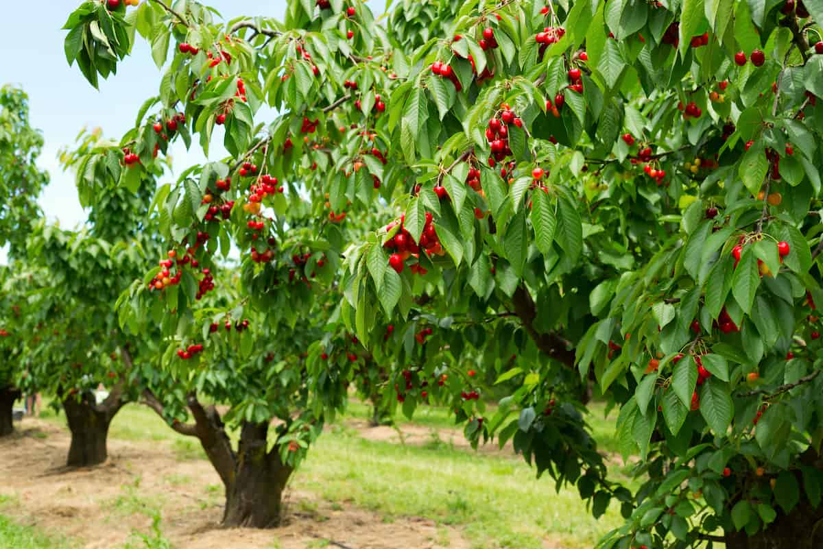Best Shade-Tolerant Fruits and How to Grow Them in the Shade