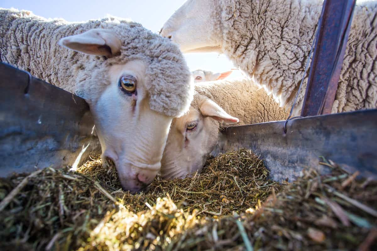 Mineral and Nutritional Requirements for Sheep