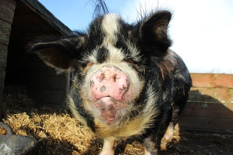 raising kunekune pigs has advantages