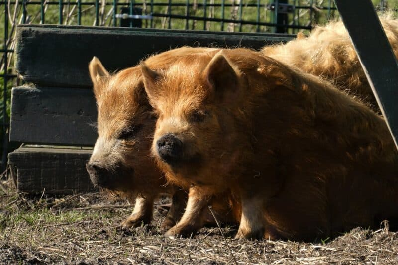 raising kunekune pigs is not that different from raising other breeds