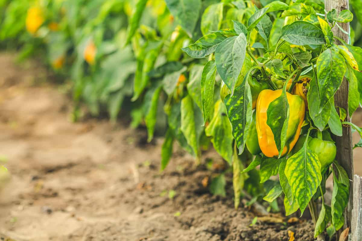 Why Your Pepper Leaves Are Turning Yellow (and What to Do ...