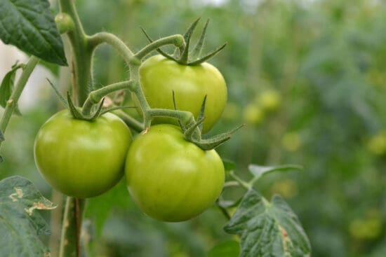 6 Reasons Why Your Tomatoes Aren't Ripening