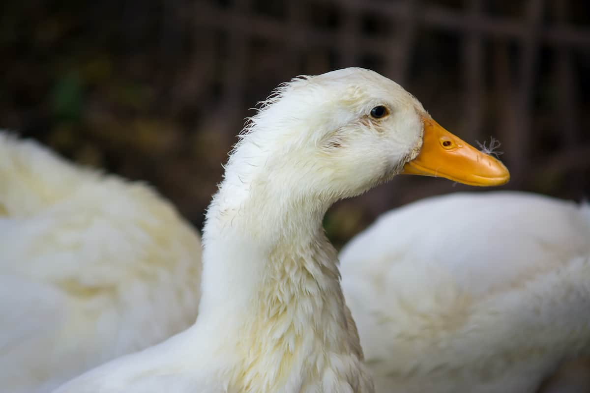 How to Prevent and Deal With Niacin Deficiency in Ducks