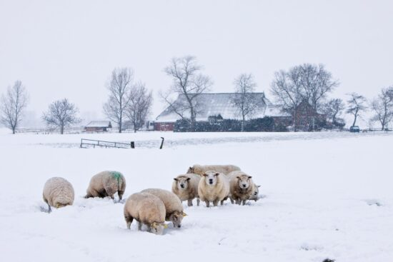 11 Important Pointers When Caring for Sheep in Winter