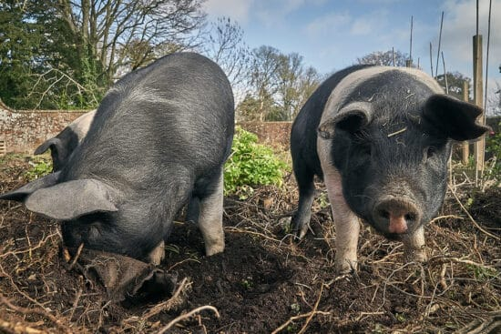 How To Till Your Garden Naturally Using Pigs