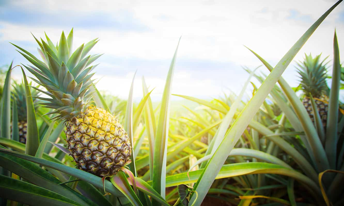 growing pineapple in a field