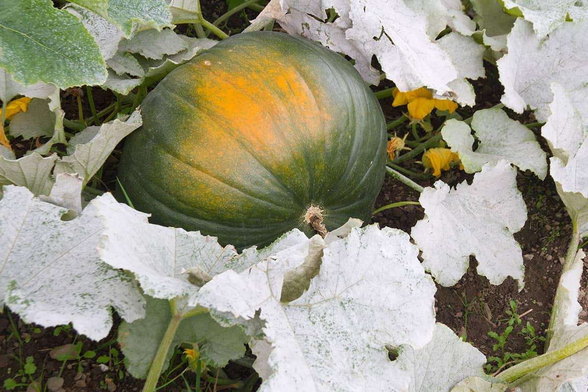 fall garden diseases