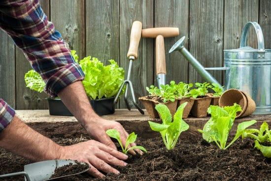transplanting plants in the garden