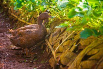 Ducks in a garden