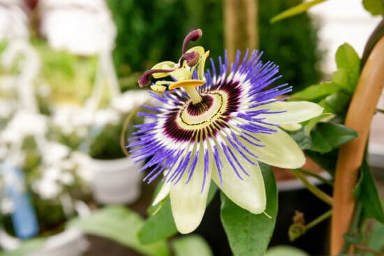 purple passionflower growing on a vine