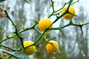 hardy oranges growing on a tree