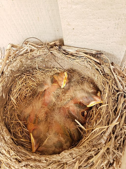https://commons.wikimedia.org/wiki/File:American_robin_nestlings_5.jpg